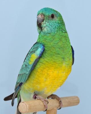 13-Bundesgruppensieger Psephotus, 1,0 Singsittich wildfarbig