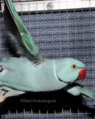 19-LGS-M-Alle-übrig.-Sittiche+Papageien-Halsbandsittich-blau-Alexander-Schmid