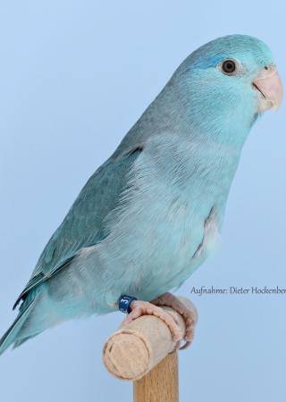 04-Europasieger Forpus Mutationen 0,1 Blaugenick-Sperlingspapagei blau ZG Remnitz (AZ 34490) Deutschland