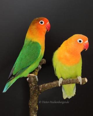 Pfirsichköpfchen (Agapornis fischeri) pastellgrün und wildfarbig