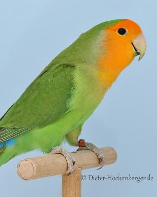 33-Bundesgruppensieger Agapornis roseicollis Mutationen, Orangemaske hellgrün