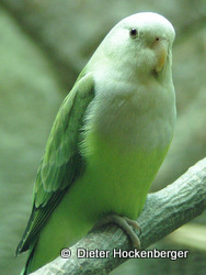 Grauköpfchen (Agapornis canus)