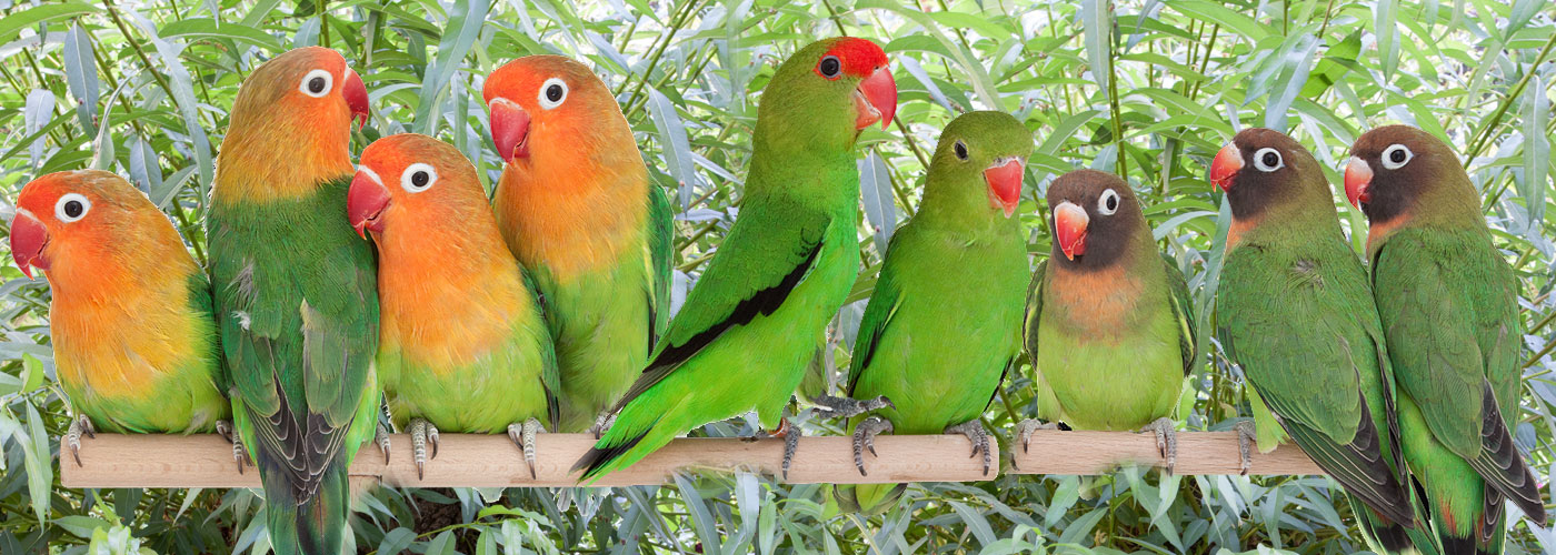 Unzertrennliche - Die Namen sagen es schon die Vögel leben in Partnerschaften und dürfen nie alleine gehalten werden. Sie brauchen sich gegenseitig, ein harmonierendes Paar ist oft damit beschäftigt sich gegenseitig zu graulen, Gefieder zupflegen und zu schnäbeln. Unzertrennliche nie alleine halten.
