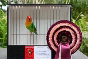 Siegervogel: Pfirsichköpfchen, Agapornis fischeri