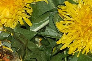 Löwenzahn enthält wichtige Bitterstoffe, Vitamin C, Kalium, Eiweiß, Fettsäuren und Mineralstoffe.