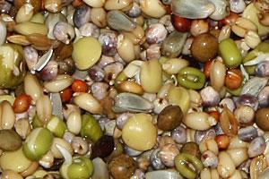 Taubenfuttermischung: betsteht aus Dari, Weizen, Kardisaat, Wicken, Linsen, Sorghum, Katjang, Paddyreis und Buchweizen.