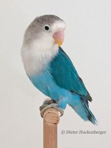 Blaues Pfirsichkoepfchen (Agapornis-fischeri)