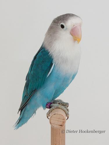 Blaues Pfirsichkoepfchen Agapornis-fischeri