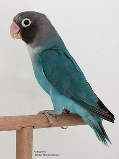 Rußköpfchen (Agapornis nigrigenis) blau