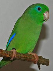 Blaubürzel-Sperlingspapagei (Forpus cyanopygius)