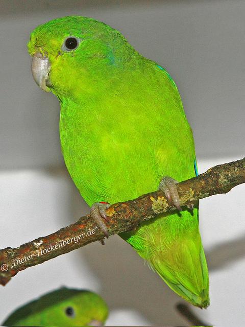 Blauflügel-Sperlingspapagei ( Forpus crassirostris vividus)