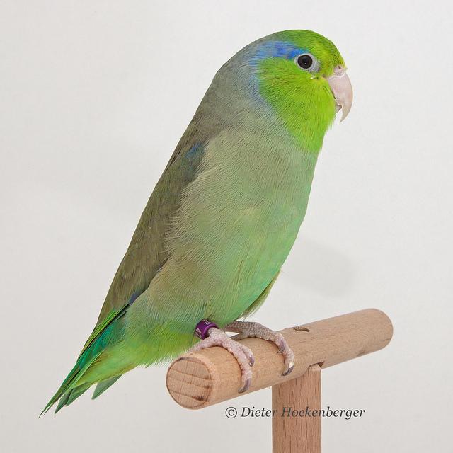 Blaugenick-Sperlingspapagei (Forpus coelestis)