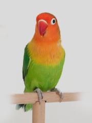 Pfirsichkoepfchen-Unzertrennliche-Einzelvogel