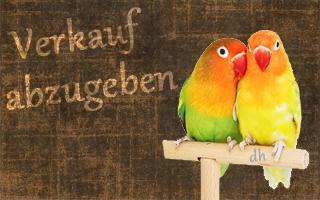 Infos über Verkauf. Jungvögel (Ruß.- und Pfirschköpfchen zu verkaufen / abzugeben