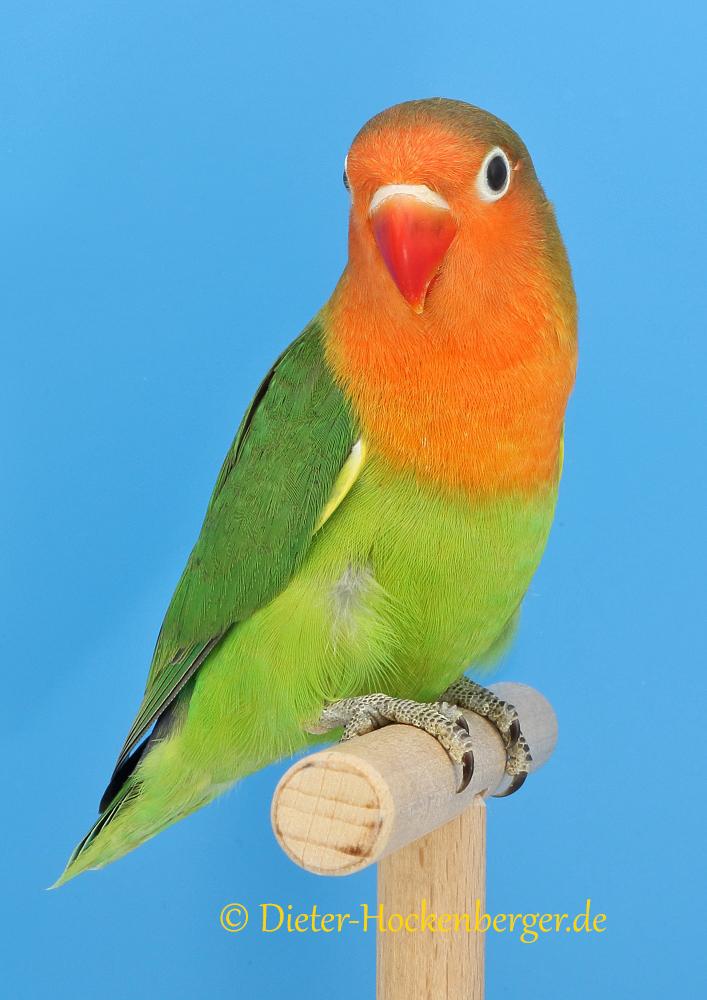 Einzelvogel Pfirsichköpfchen Agapornis fischeri