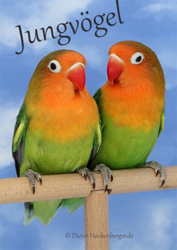 Pfirsichköpfchen (Agapornis fischeri) Jungvögel Paare DNA-Geschlechtsbestimmt