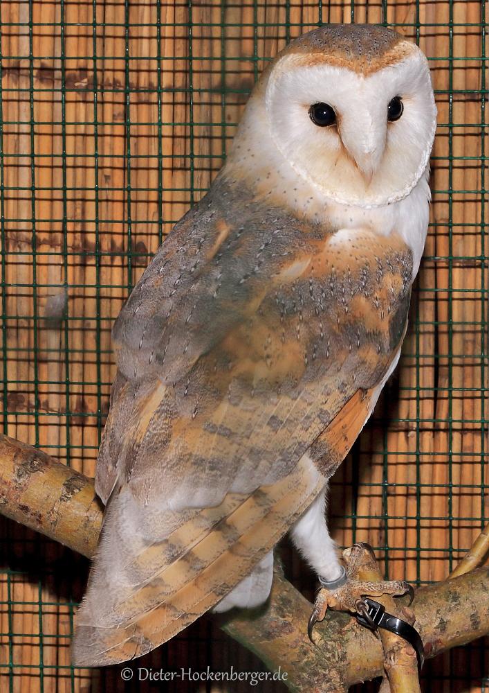 Schleiereule (Tyto alba)