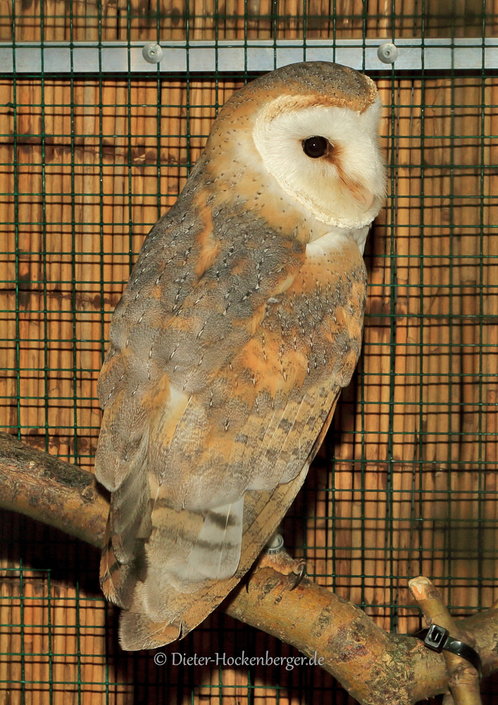 Schleiereule Tyto alba