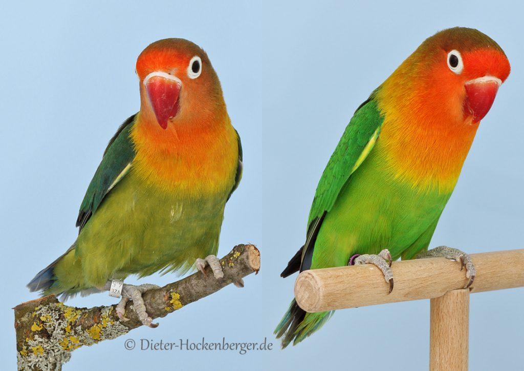 Pfirsichköpfchen Agapornis fischeri links D-grün rechts wildfarbig