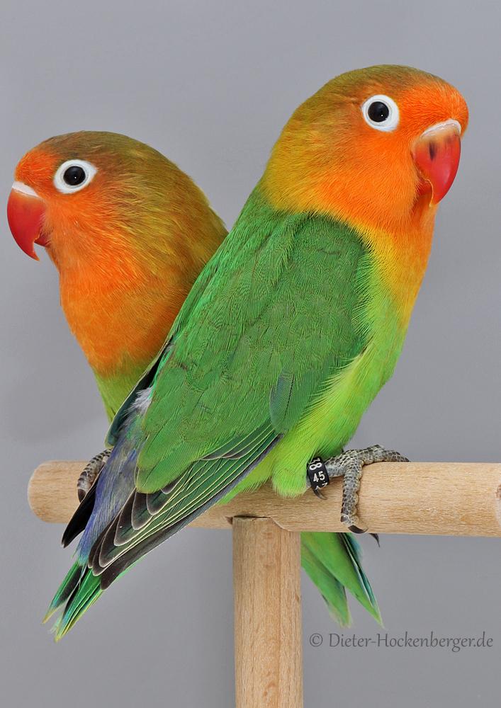 2019er Pfirsichköpfchen, Jungvögel Paar - DNA Geschlechts-Bestimmt