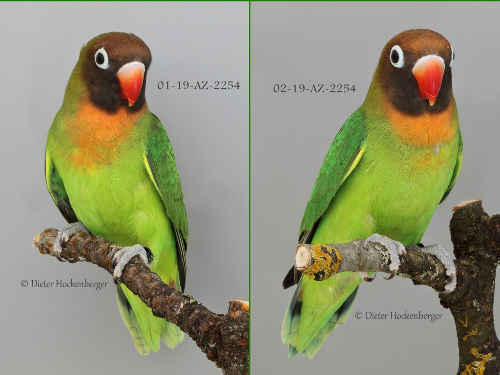 Rußköpfchen Agapornis nigrigenis Jungvögel