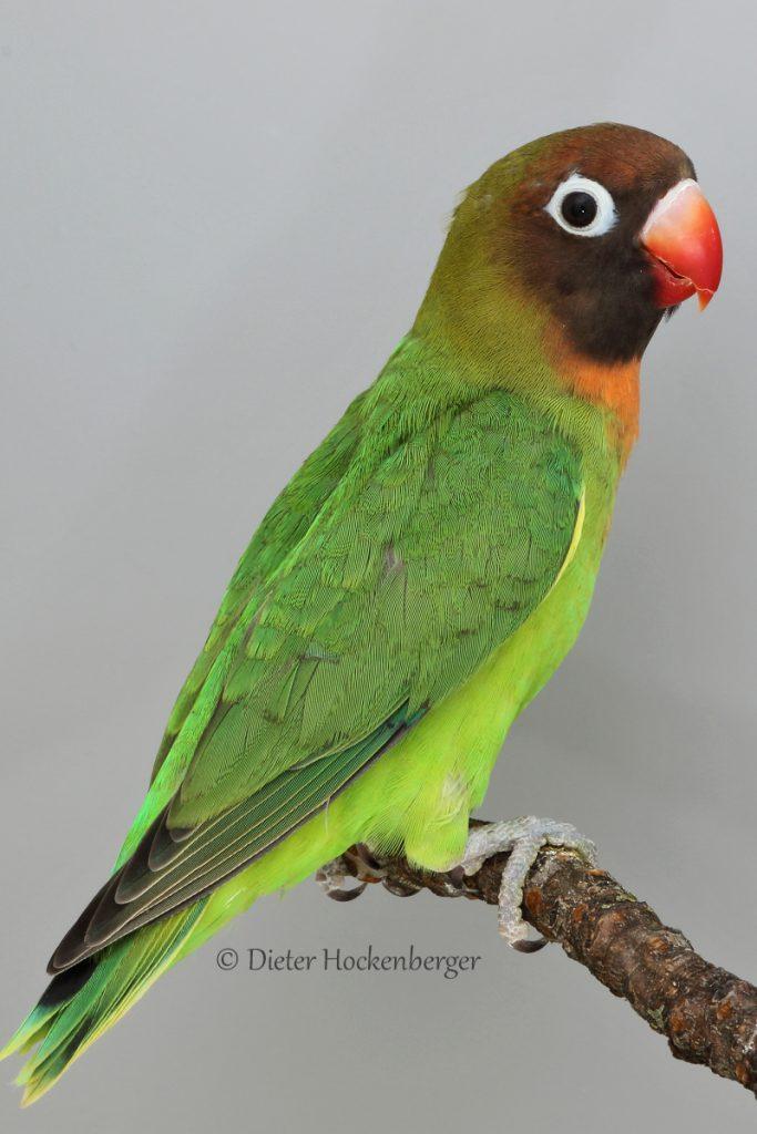 Rußköpfchen Agapornis nigrigenis Jungvogel