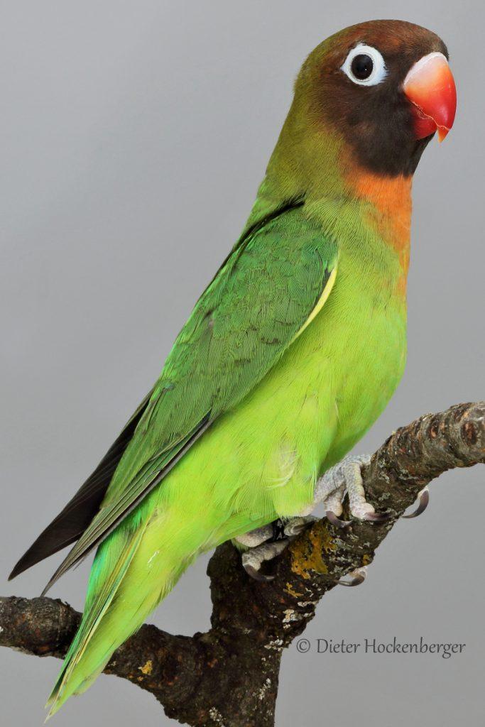 RNr. 01 19 AZ 2254 Rußköpfchen Agapornis nigrigenis Jungvogel