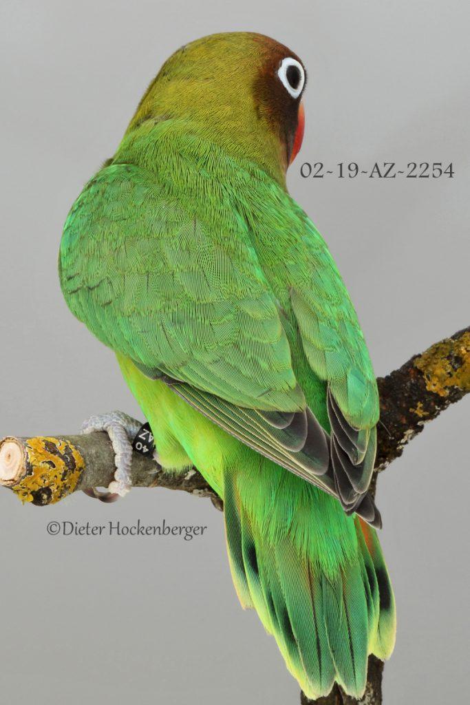 RNr. 02 19 AZ 2254 Rußköpfchen Agapornis nigrigenis Jungvogel