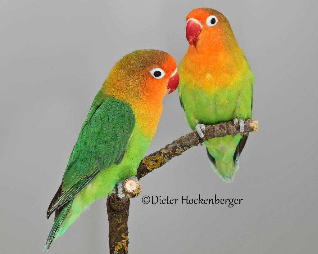 2019er Pfirsichköpfchen, Jungvögel  - DNA Geschlechts-Bestimmt.