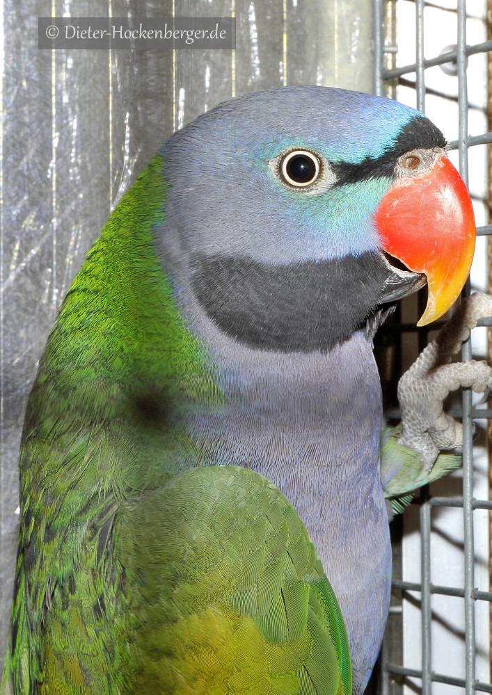 1-Bundessieger sonstige GS-Papageien, Chinasittich wildfarbig