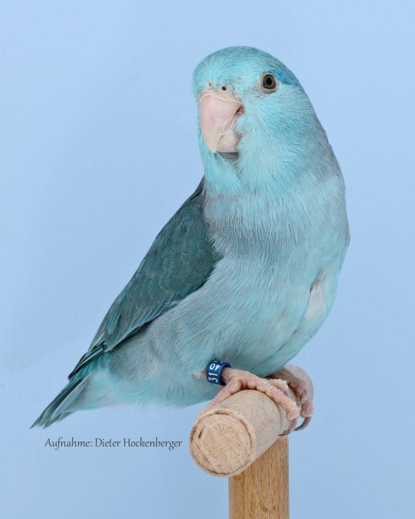 04-Europasieger Forpus Mutationen 0,1 Blaugenick-Sperlingspapagei blau