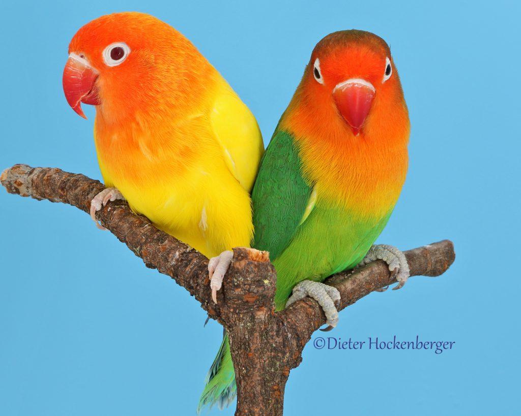 Pfirsichköpfchen (Agapornis fischeri) wildfarbig und lutino