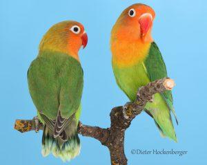 Pfirsichköpfchen Agapornis fischeri Abgabe / Verkauf Vögel