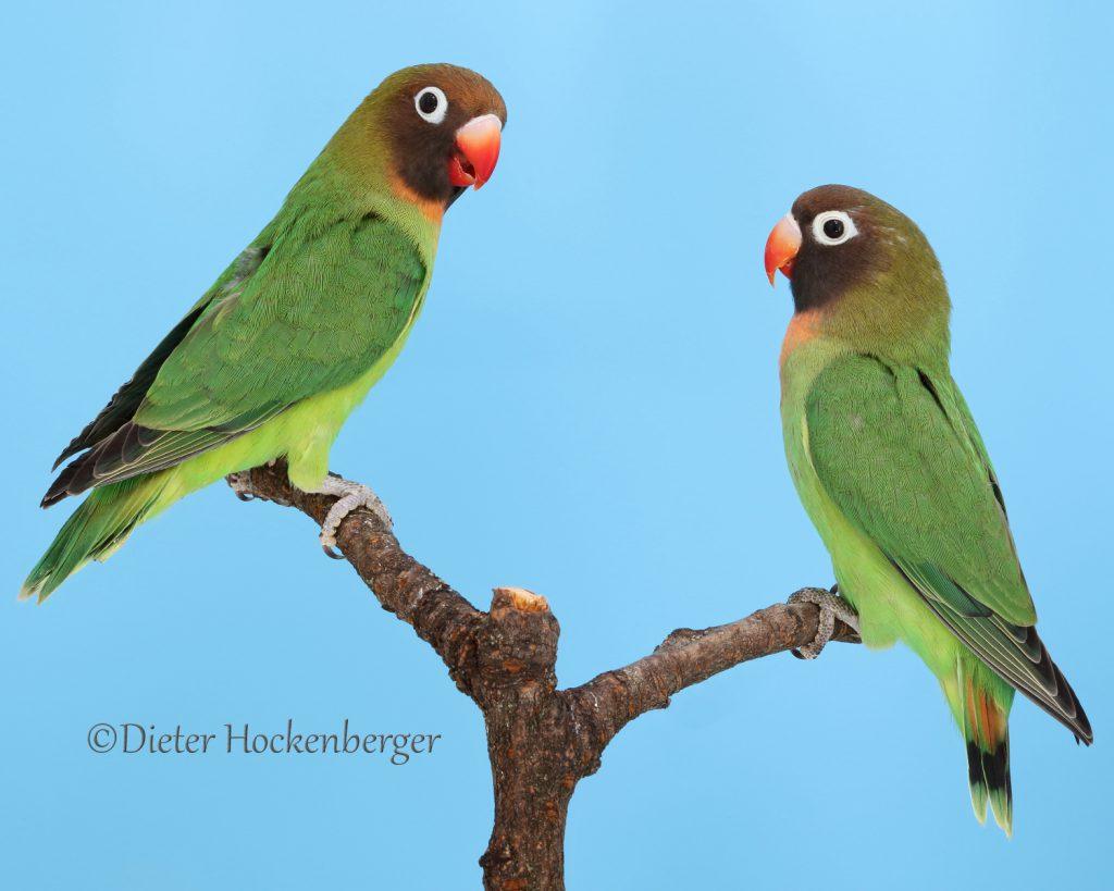 Rußköpfchen-Agapornis-nigrigenis-Jungvögel