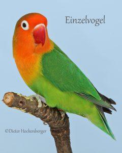 Einzelvogel-Pfirsichköpfchen-Agapornis-fischeri