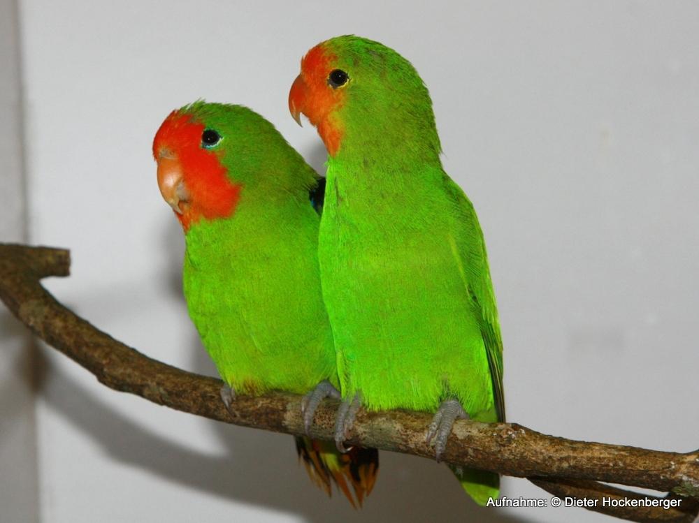 Agapornis-pullaria-Orangeköpfchen