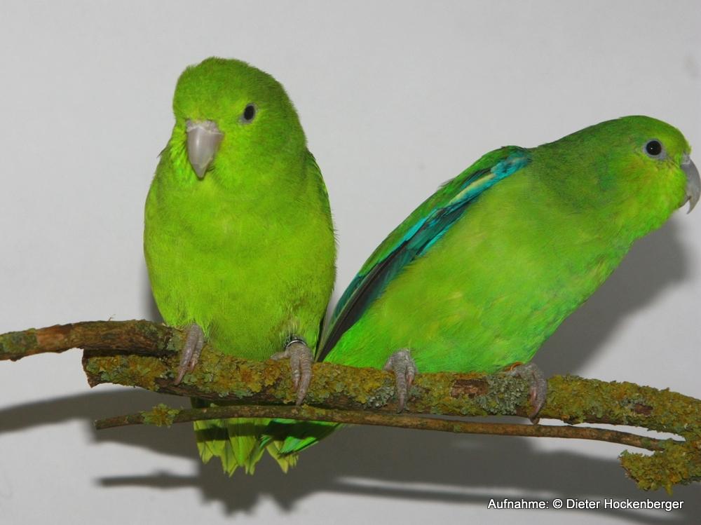 Blaubürzel-Sperlingspapagei