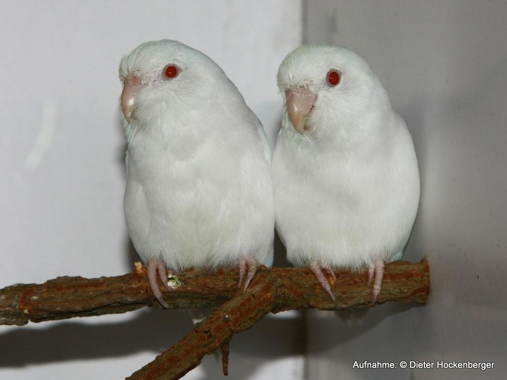 Blaugenick-Sperlingspapagei-Mutation-NSL-albino