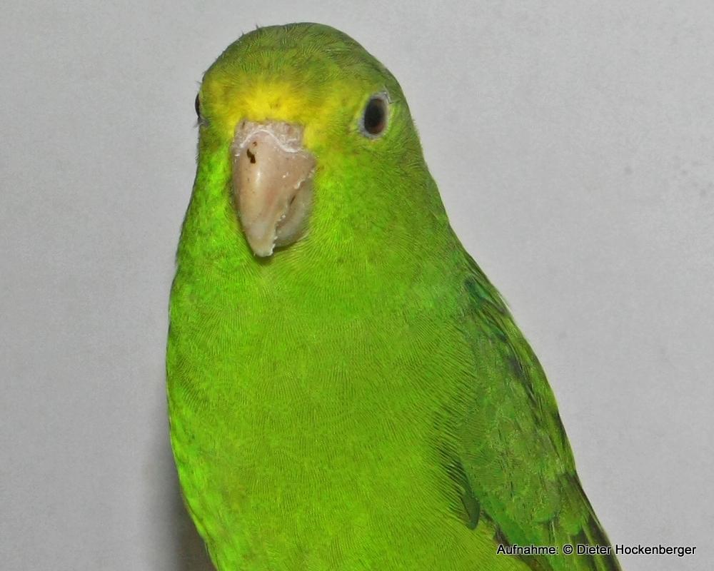 Grünbürzel-Sperlingspapagei-Henne