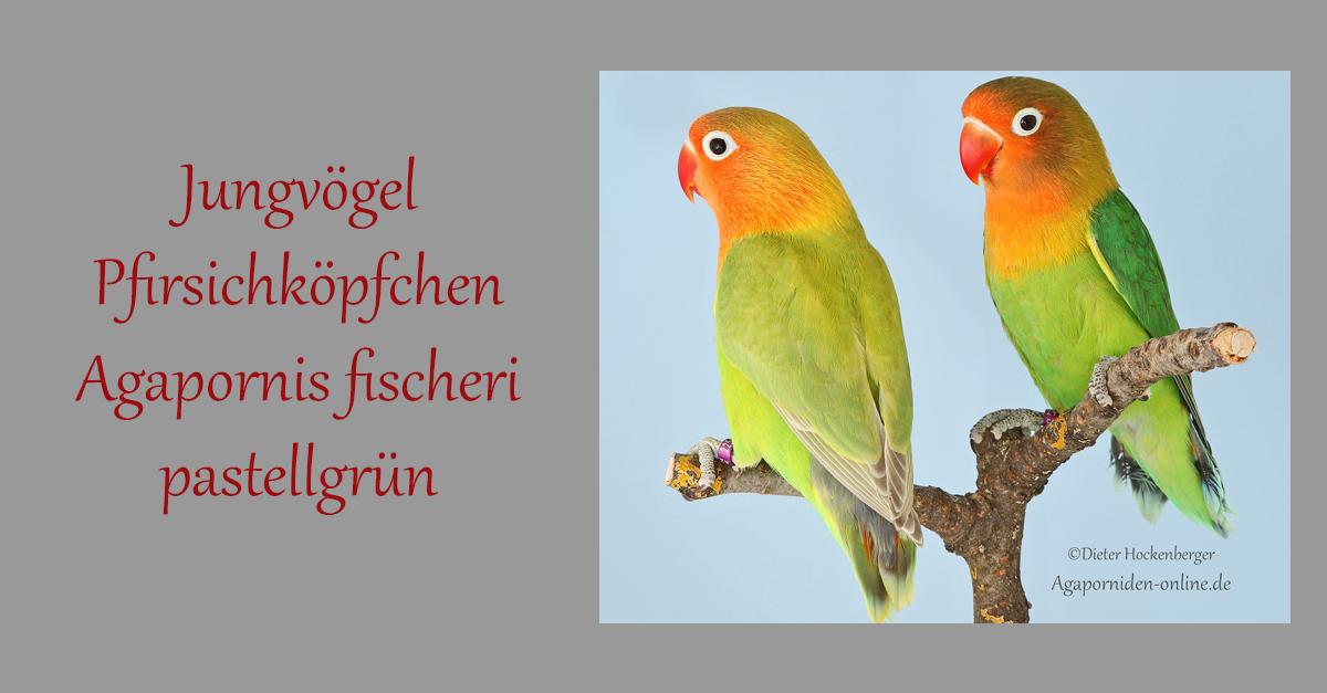 Jungvögel-Pfirsichköpfchen-Agapornis fischeri-pastellgrün